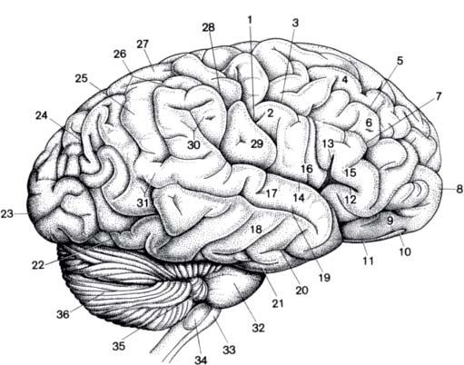 Anatomy Neupsy Key