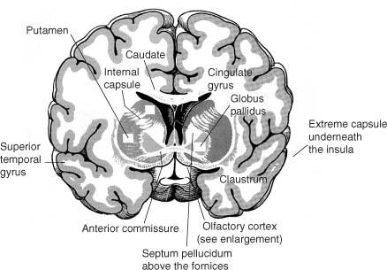 Basal Forebrain Anatomy