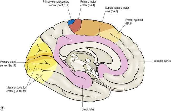 functional subdivisions of the orbito frontal cortex The orbitofrontal cortex is divided into ventromedial brain of the macaque monkey with major subdivisions involvement of inferior frontal cortex in response.