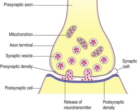 Synaptic transmission | Neupsy Key