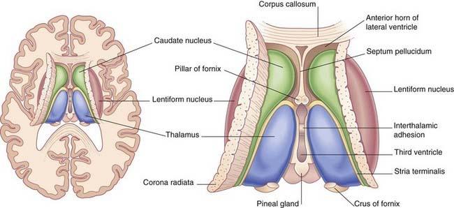 Caudate Nucleus And Fornix Cerebral topogr...
