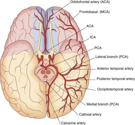 Image result for posterior cerebral artery