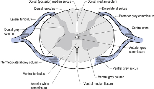 Figure 7.6 The various locations of grey matter nuclei of the spinal cord.
