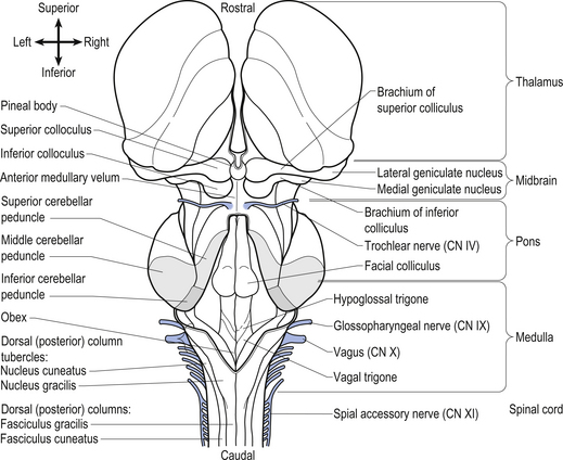 The brainstem and reticular formation | Neupsy Key
