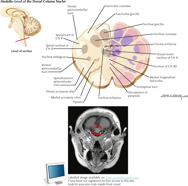 Brain stem and cerebellum neupsy key rostral mesencephalon diencephalon junction t1 weighted magnetic resonance images of the brain stem and surrounding tissue are provided for each level ccuart Gallery