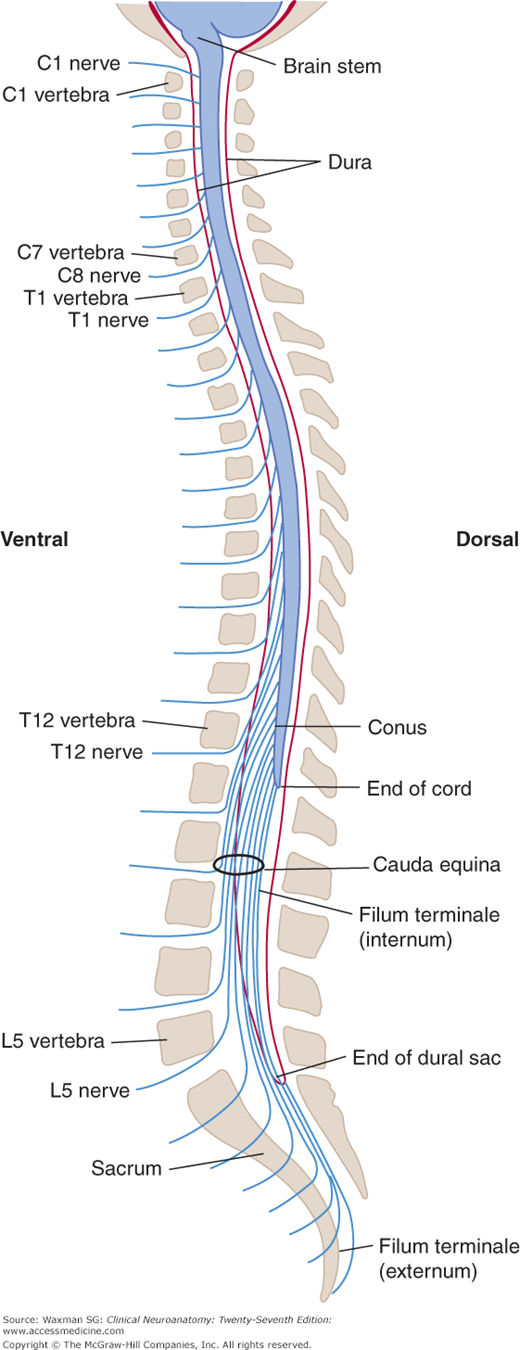 The Vertebral Column And Other Structures Surrounding The Spinal Cord Neupsy Key Er liegt als verlängerung der pia mater spinalis innerhalb des duralsacks und ist von. spinal cord