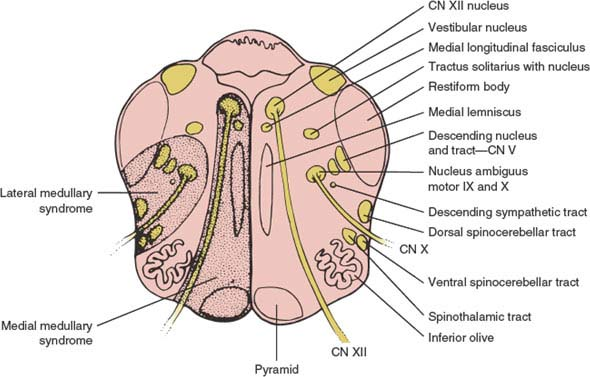 Brainstem | Neupsy Key