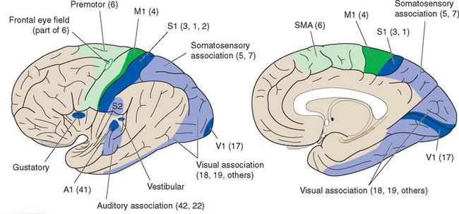 Cerebral Cortex   Neupsy Key