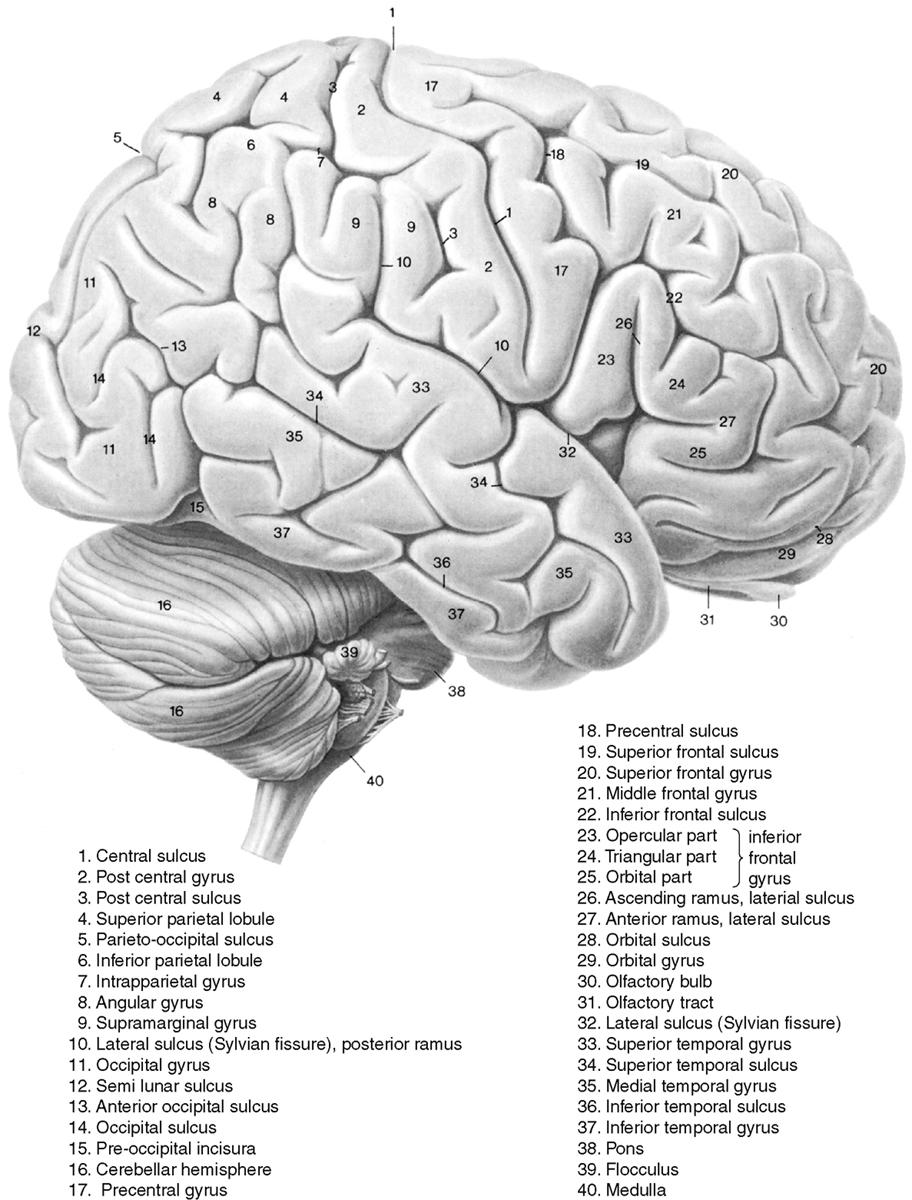 Cranial Anatomy | Neupsy Key