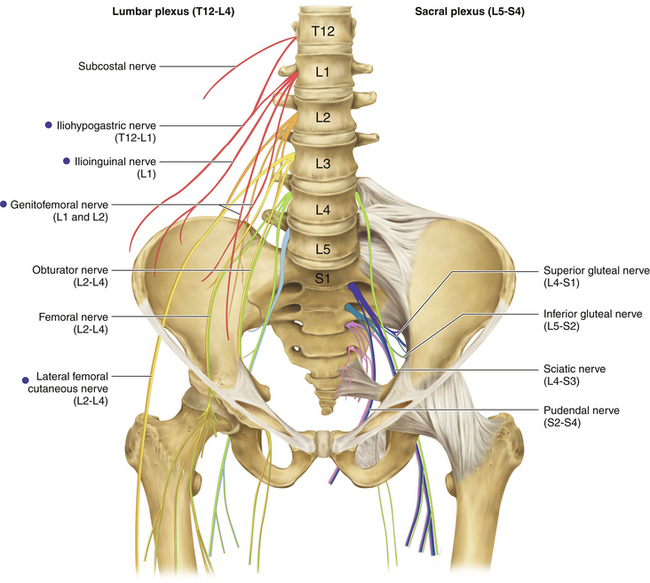 Ilioinguinal Iliohypogastric And Genitofemoral Nerves And Lateral