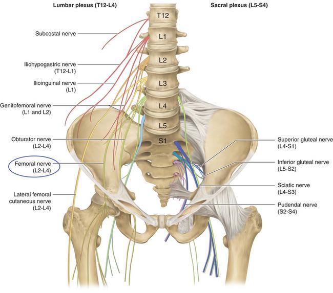femoral nerve   neupsy key, Muscles