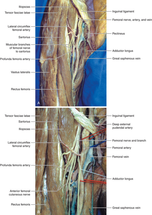 femoral nerve | neupsy key, Muscles