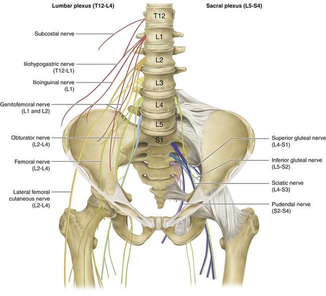 Nervus genitofemoralis || Med-koM