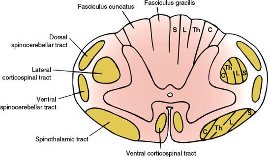 Spinal Cord | Neupsy Key