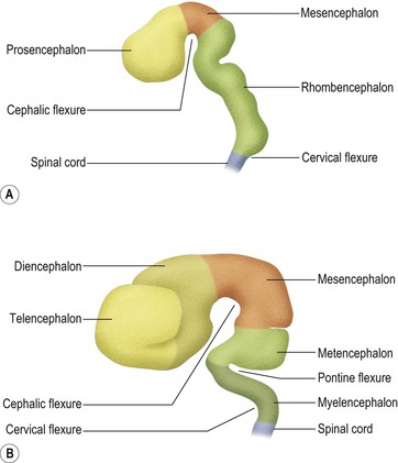 name each of the three primary embryonic brain vesicles It is simply the anterior termination of the spinal cord, and is developed from three embryonic vesicles each connected by synapses to several thousand other neurons brain -cor al, the popular name of certain kinds of coral.