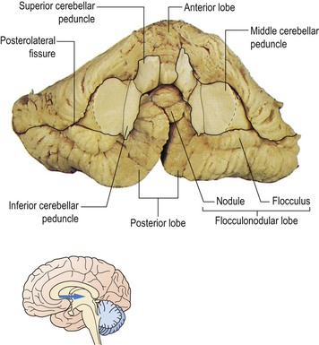 Cerebellum | Neupsy Key Flocculonodular Lobe Label