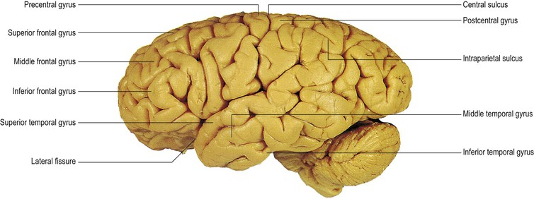 cerebral hemisphere and cerebral cortex | neupsy key, Human Body
