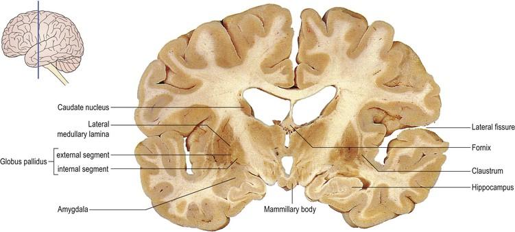 Cerebral hemisphere and cerebral cortex | Neupsy Key