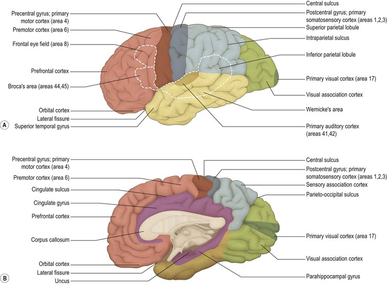 Cerebral hemisphere and cerebral cortex neupsy key figure 1316 major functional areas of the cerebral cortex a lateral aspect of left cerebral hemisphere b medial aspect of right cerebral hemisphere ccuart Image collections