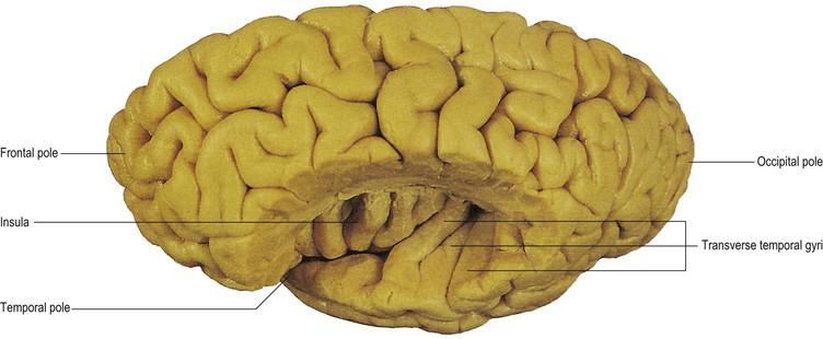 cerebral hemisphere and cerebral cortex | neupsy key, Human Body
