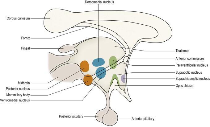 Hypothalamus, limbic system and olfactory system   Neupsy Key