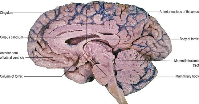 Hypothalamus Limbic System And Olfactory System Neupsy Key Although the mammillary bodies have been implicated in amnesia perhaps for longer than any other single brain region, their role has remained elusive. hypothalamus limbic system and