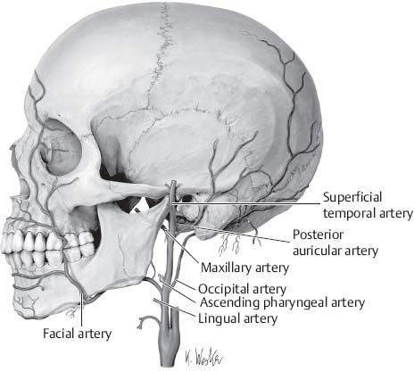 Neuroanatomy | Neupsy Key