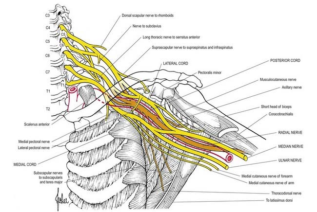 brachial plexus Brachial plexus the brachial plexus is the network of nerves originating from the spinal cord in the cervical spine that is responsible for control of movement and sensory innervation in the upper extremity.