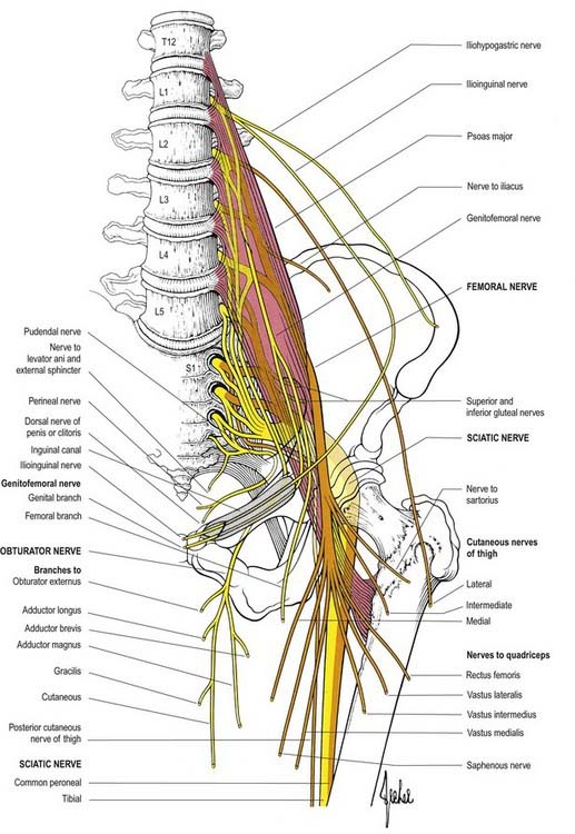 lumbar plexus and sacral plexus | neupsy key, Muscles