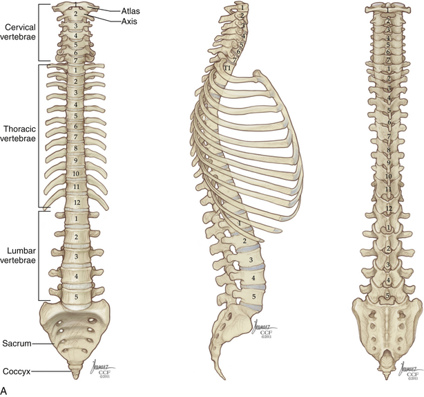 Applied Anatomy Of The Thoracic And Lumbar Spine Neupsy Key