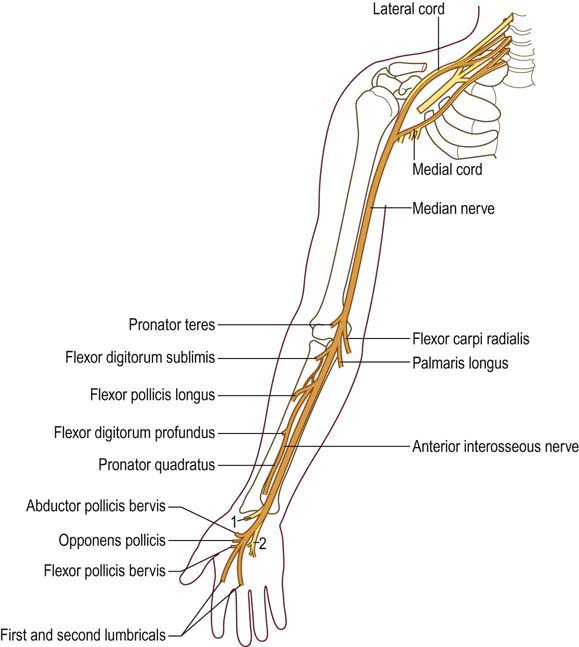 Median nerve anatomy
