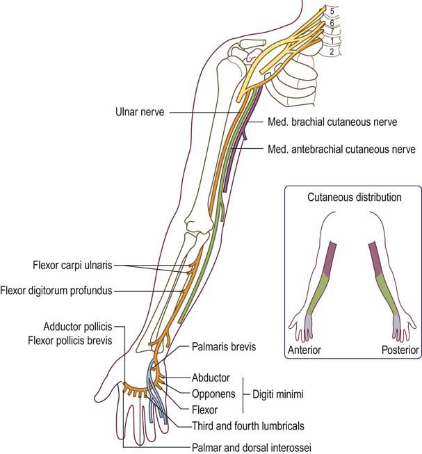 Ulnar Neuropathy At The Elbow Neupsy Key