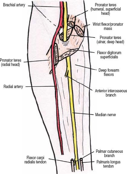 Flexor Digitorum Superficialis Median Nerve | www.pixshark ...