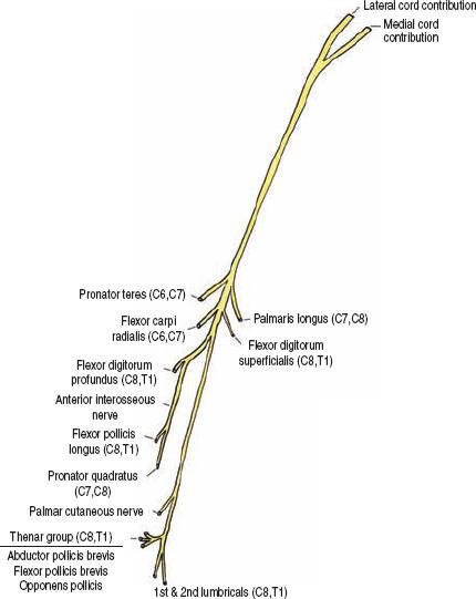 The Diagnostic Anatomy Of The Median Nerve Neupsy Key