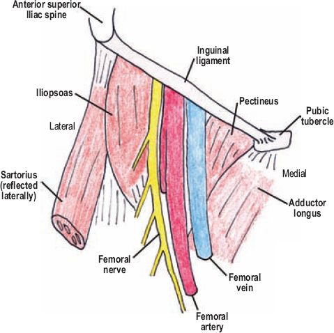 The Diagnostic Anatomy Of The Inguinal Complex Of Nerves Neupsy Key