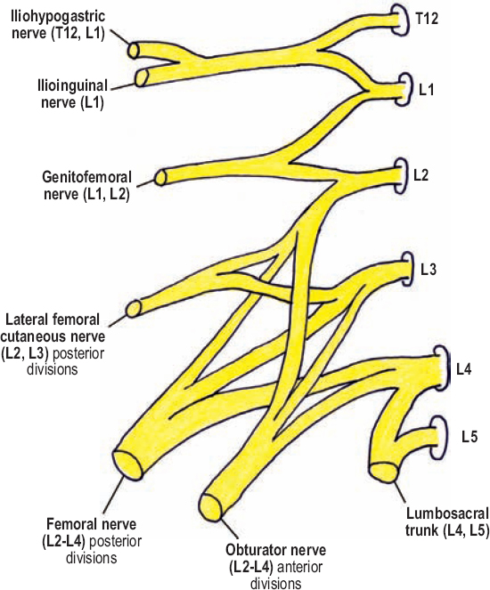 figure 8 1 lumbar plexus the lumbar plexus is composed of the t12 to l4 ventral rami which intercommunicate and coalesce to form anterior and posterior