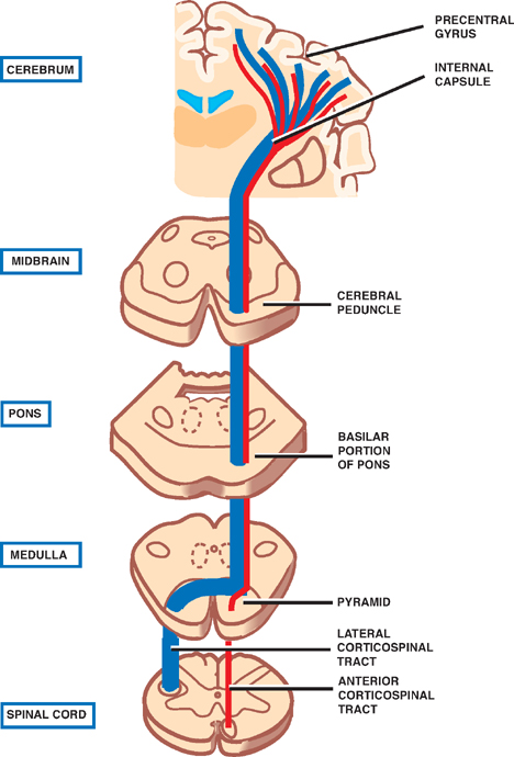 472915 fig further Index besides Neuroanatomy 33311804 also 150086 in addition 1 Basal Ganglia. on dorsal and ventral blood