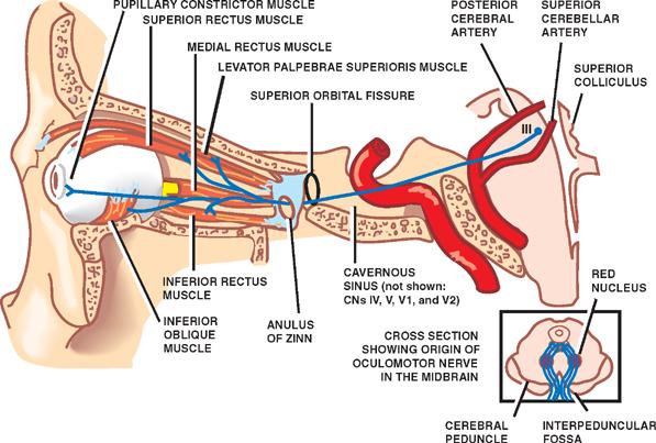 Cranial Nerves Neupsy Key