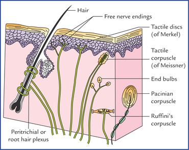 Receptors And Effectors Neupsy Key