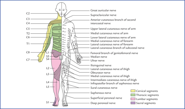 Dermatomes And Muscular Activity Neupsy Key