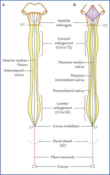 Spinal Cord Neupsy Key It consists of two parts, an upper and a lower. spinal cord neupsy key