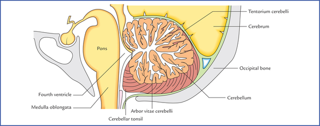 Cerebellum and fourth ventricle neupsy key for Floor of 4th ventricle