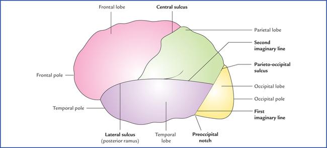 cerebrum | neupsy key, Human Body