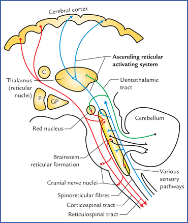 Reticular Formation And Limbic System Neupsy Key