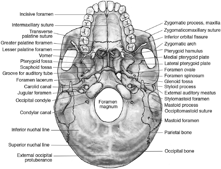 base of skull pictures to pin on pinterest