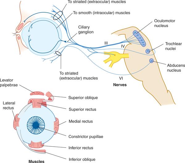Cranial Nerves and Pathways | Neupsy Key
