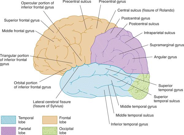 Cerebral Hemispheres/Telencephalon | Neupsy Key