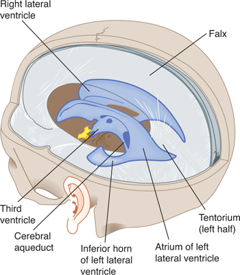 Ventricles And Coverings Of The Brain Neupsy Key