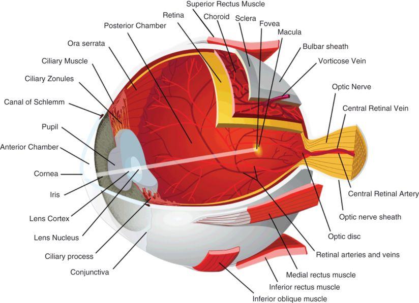 Anatomy of the anterior visual pathway | Neupsy Key